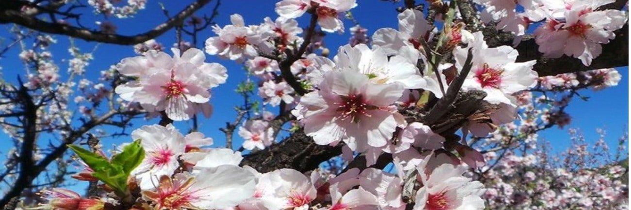 Feslalí, Alcalalí en flor